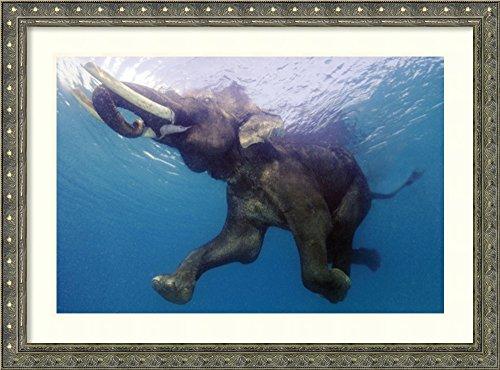 Elephant Underwater Framed Print